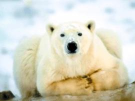 这个白色冬天 去加拿大邂逅北极熊