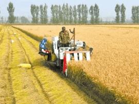 唐山 大片大片水稻开始收割 丰收在望