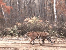 到2020年将正式设立东北虎豹国家公园