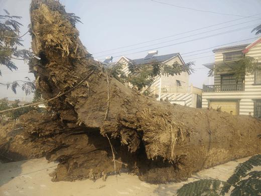 沙市岑河镇木垸村发现巨大阴沉木 只揭开地底一角