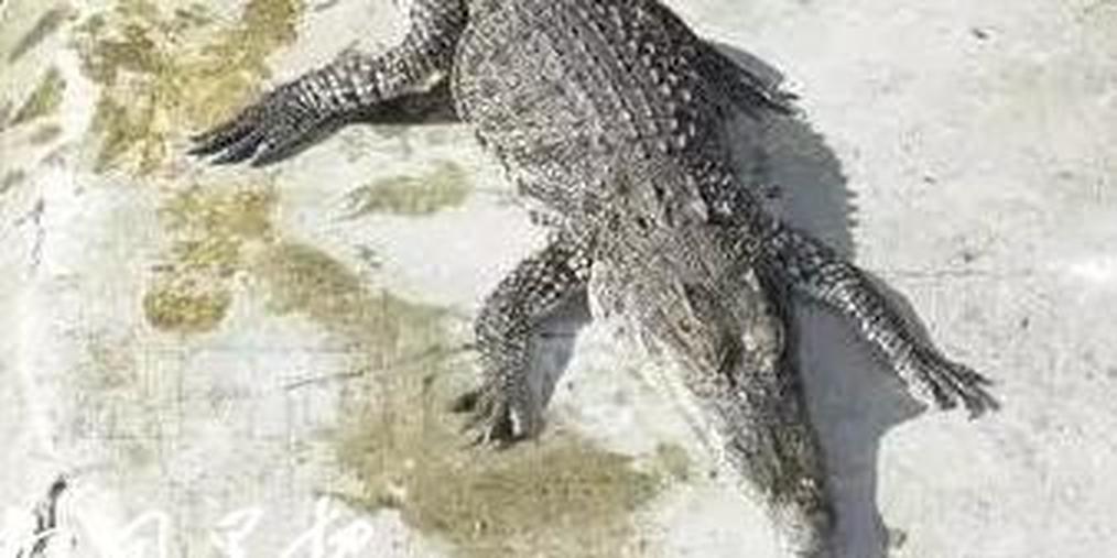 南宁一小区惊现鳄鱼 70厘米长4公斤重!