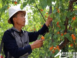临猗:坡上坡下鲜杏 进入采摘旺季
