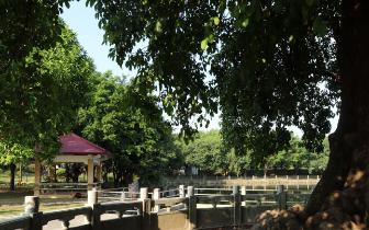 【莞视界】1016岁古树如期开花迎早春