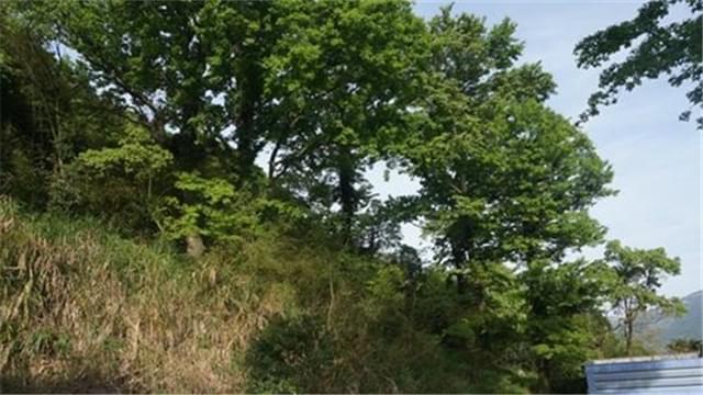 苍南发现古树群 专家已前往调查取样
