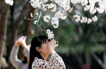 西安青龙寺樱花烂漫开放