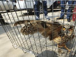 济南野生鸟类地下交易链:几十元买鹰可卖上千