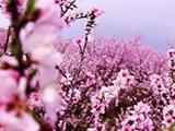 双休日可出门赏桃花啦 月底奉化水蜜桃进入盛花期