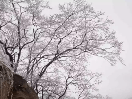 没有了夏天苍翠的绿色,雪白的西泰山一样美丽!