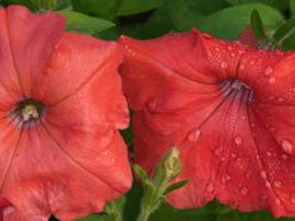 美国花卉经销商销毁非法转基因矮牵牛花