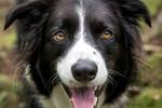 瑞典研究:养狗或降低心脏病死亡风险