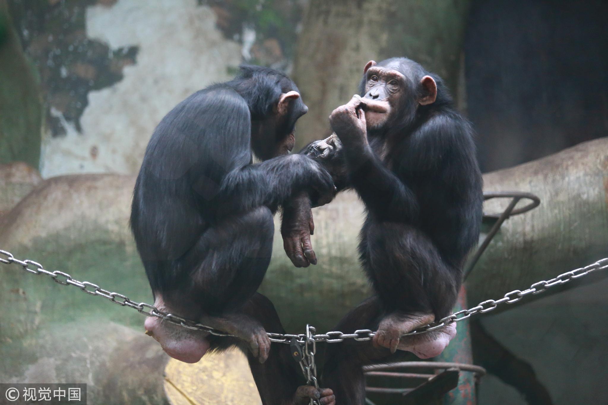 济南动物园,一只黑猩猩在给另一只梳理毛发,这是它们表达感情的一种有效的方式 / 视觉中国
