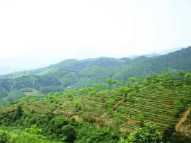 前4个月漳州乌龙茶出口量超去年全年 近五年高点
