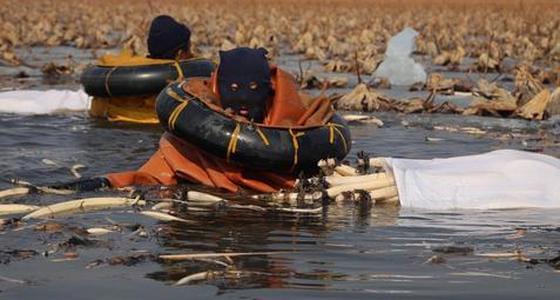 采藕人每天冰水中泡7小时 采200斤藕