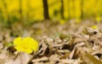 广西这座小城的黄花风铃木开满山头 央视都来拍了