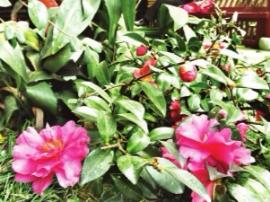 西湖公园引进115种茶花、茶梅 花期将持续到3月份
