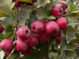 石家庄无公害标准化果品种植面积达241.4万亩