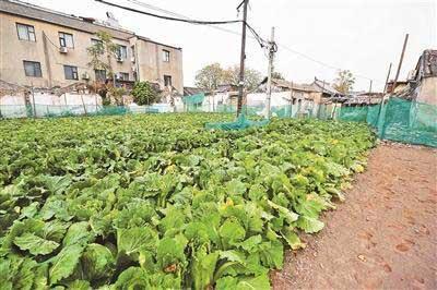 北京前门现菜地种白菜萝卜