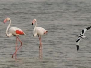惊艳 青岛沿海湿地再现火烈鸟