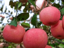 灵宝市召开苹果产业发展大会 加快转型升级