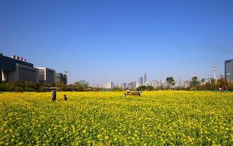 福州花海公园油菜花迎来盛花期
