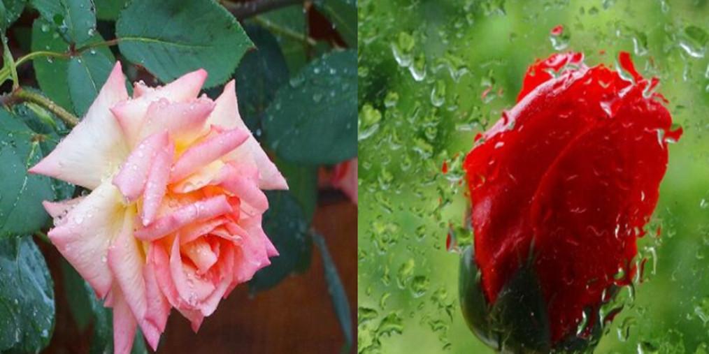 雨中月季花娇艳欲滴 引人驻足