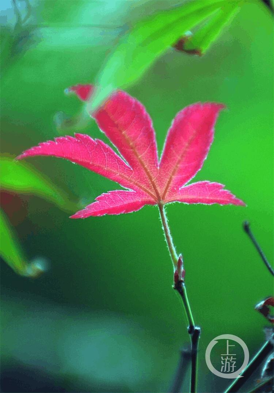 重庆主城的枫叶开始红了……