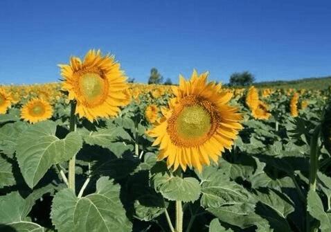 临江仙公园将迎最佳赏花期 40万株向日葵迎天下客