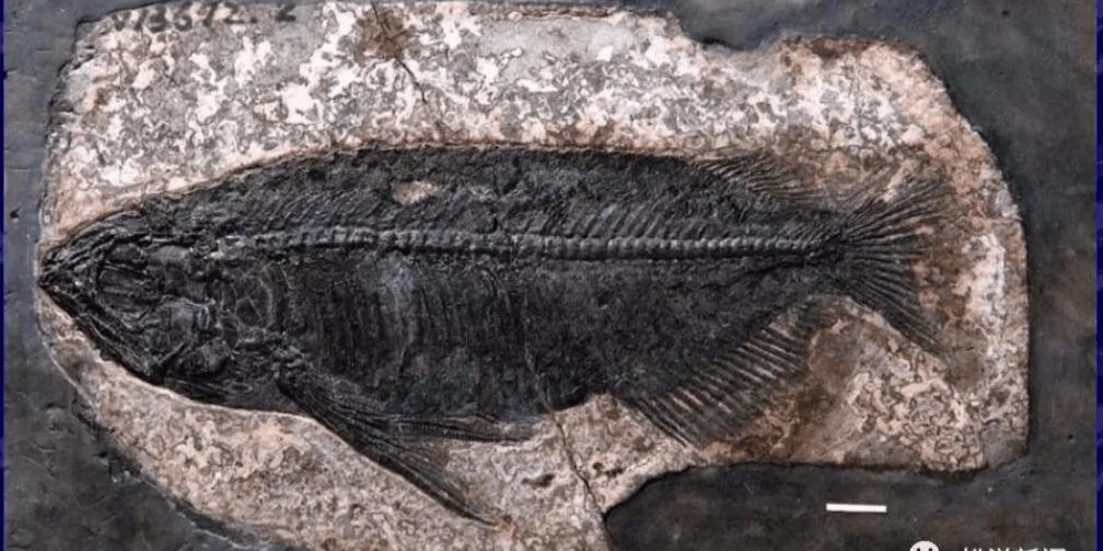 重大发现!松滋现世界上最完整金龙鱼化石骨骼标本