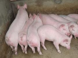 闽多数养猪场生猪存栏量下降 生猪收购价总体下行