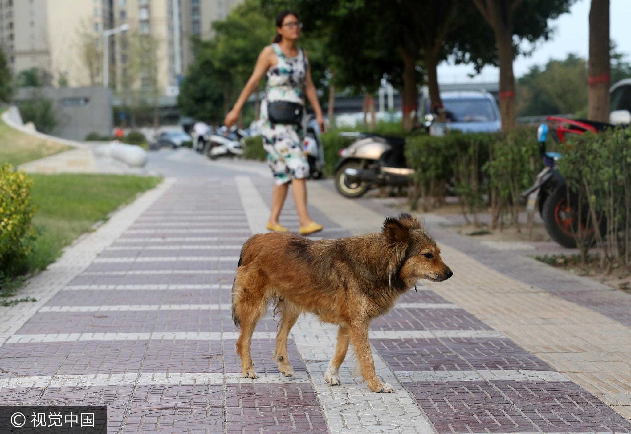 2017年7月30日,西安,流浪狗在街头乱窜,你能看出这只狗是否得病吗/视觉中国