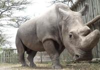 北方白犀牛最后的雄性死亡 这个物种还能延续下