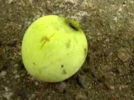 南宁人千万不要吃这种芒果 搞不好就铅中毒了