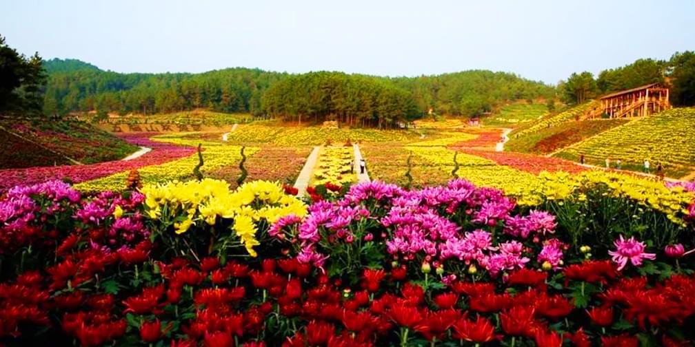 叹为观止!这样的满城菊花你见过吗