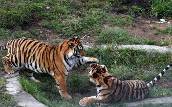 龙岩梅花山自然保护区内 看华南虎