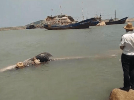 6米长2吨重鲸鲨误入渔网 众人营救引入深海放生