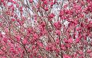 泰州桃园:人间四月天桃花分外红