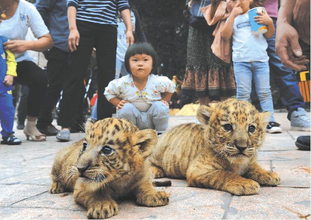 """沙市中山公园动物园虎宝""""断奶"""" 10天后与游客见面"""