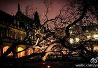 """悉尼大学""""镇校之宝""""考试树被狂风吹倒"""