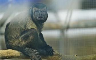 """围观""""人脸猴"""" 没有尖嘴猴腮天生国字脸"""
