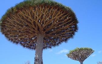 非洲旅游遇到千年树妖 砍倒之后会流血