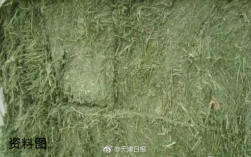 天津海关截获一批重约250吨美国进口转基因苜蓿草 图1