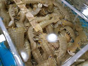 阳春三月虾虎肥 尝鲜小贵每斤六七十