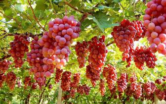东莞吃货注意!这种水果预计6月份就可以开吃了!