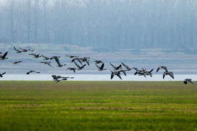 生态环境越来越好 濒危物种白鹤现身监利长江故道