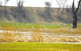 秋季来枪杆村千亩莲塘,看候鸟归来的美景