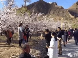 杏花为媒幸福来:2017阳高杏花节系列活动