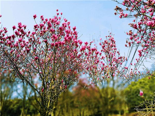 合川赏花季启动 12个赏花点任你选