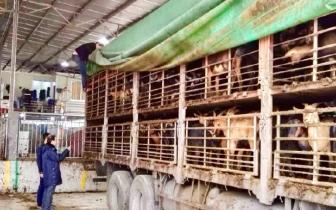 福州海关破获活体山羊走私入境系列案件 刑拘26人