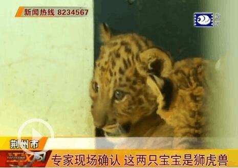 沙市中山公园动物园为两只狮虎兽宝宝有奖征名