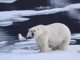如何处心积虑地接近一头北极熊!